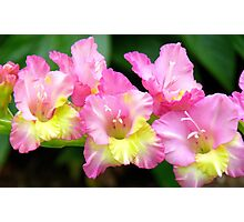 An Admiral  Spray Of Gladness! - gladiolus - NZ Photographic Print