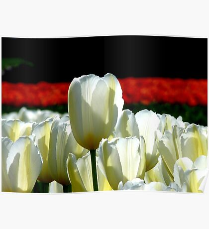 Can You See The Red Ones Yet! - Tulip Plantation - NZ Poster
