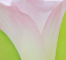 Pink Lily - Wild Flower Icon from Africa by LivingWild