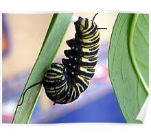 Instar! - Extraordinary Transformation! - Monarch Caterpillar - NZ  Poster