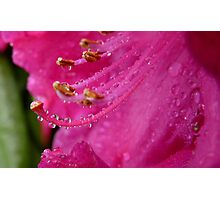 Natures Complex Simplicity! - Rhododendron - NZ Photographic Print