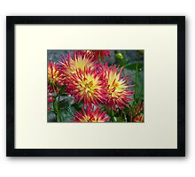 The Meaning of Variety... - Dahlia Blooms - NZ Framed Print