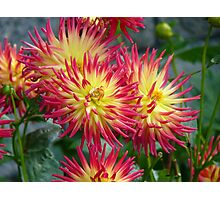 The Meaning of Variety... - Dahlia Blooms - NZ Photographic Print