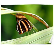 I'm A Tiger.. I'm A Tiger! Orange Tiger Butterfly - NZ Poster
