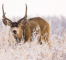 Mule Deer in Mid Chew by Jay Ryser
