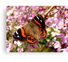 I've Been Dusted With Gold.. Red Admiral Butterfly - NZ Canvas Print