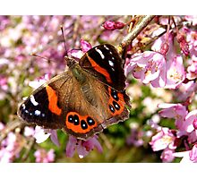 I've Been Dusted With Gold.. Red Admiral Butterfly - NZ Photographic Print