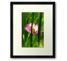 Make way Pink Bloom Peeking Through! - Wild Daisy - NZ - Southland Framed Print