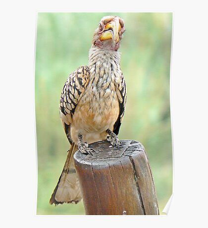 "Southern Yellow-billed Hornbill:  ""I've got my beady eye on you!""  (IV) Poster"