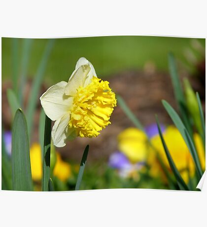 Natures Frills And Ruffles - Daffodil - NZ Poster