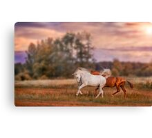 Grey and red stallions Canvas Print