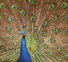 peacock wheel by Marie Tixier-Brennan