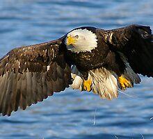 Eagle's Descent by Amber Graham (grahamedia)
