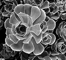 Succulent by Yampimon