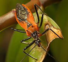 Assassin Bug by Colin  Ewington