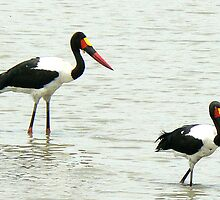 Saddle-billed Storks  (I) by AARDVARK