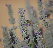 Bee in Lavender by lettie1957