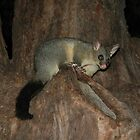 Possum In Tree, Hyde Park, Sydney, Australia 2005 by muz2142