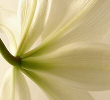 Back view of a white lily. by NKSharp