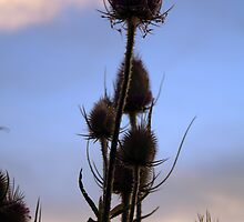 Wild thistles against evening sky by NKSharp