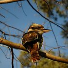 Kookaburra In Tree No.2 by muz2142