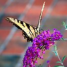 Butterfly Bush by © Joe  Beasley IPA