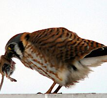 American Kestrel & Prey by Ryan Houston