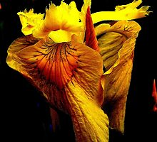 Frilled Yellow Lily by buddykfa