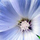 Light Blue Morning Glory by buddykfa