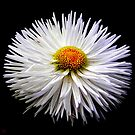 String Daisy on Black by buddykfa