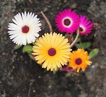 Ice plant flower by Karin Elizabeth