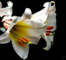 Christmas Lilies by Mary Trebilco