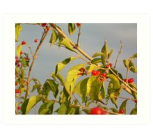 red berries Art Print