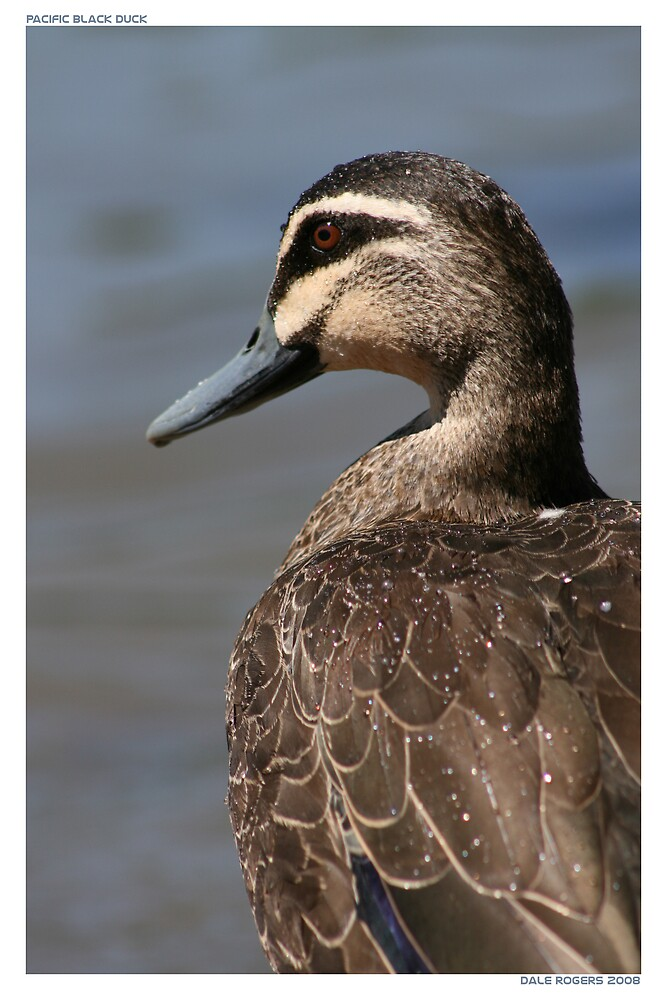 Pacific Black Duck by dale rogers