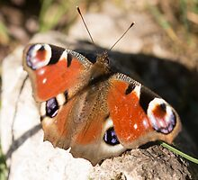 Peacock Butterfly by Robert Carr
