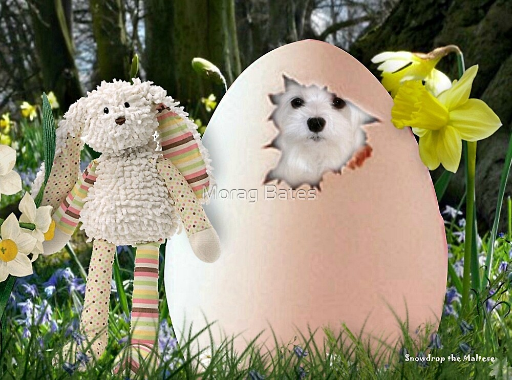 Snowdrop the Maltese - Is it Easter Yet ? by Morag Bates