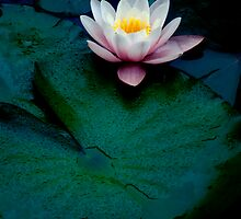 Waterlily #4 by Janos Sison