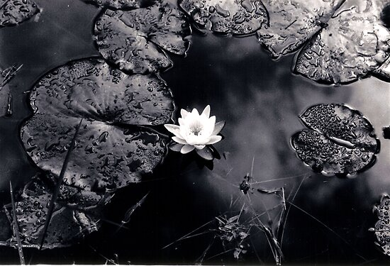 Reflections In Water Lilies by Dan Cahill