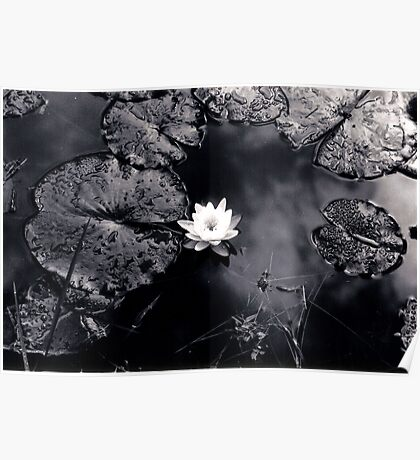 Reflections In Water Lilies Poster