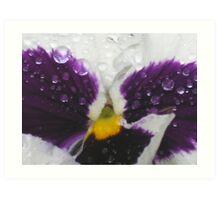 spring pansy Art Print