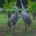 Sandhill Cranes by MMerritt