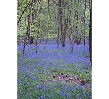 Beautiful bluebells number 2 Photographic Print