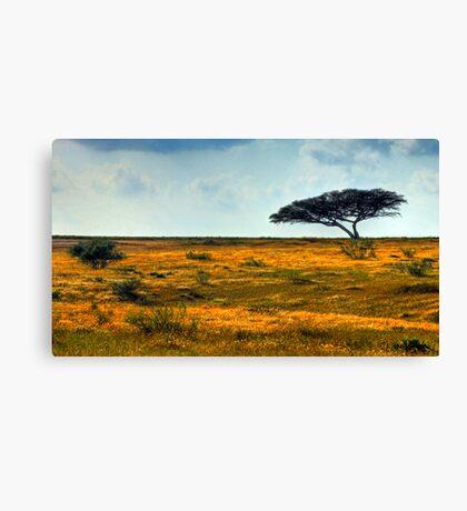 Lone Acacia Tree. Western Negev, Israel Canvas Print