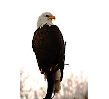 Bald Eagle - American Symbol Photographic Print