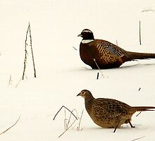 Pheasant Pair by Ryan Houston