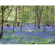 Beautiful bluebells number 3 Photographic Print