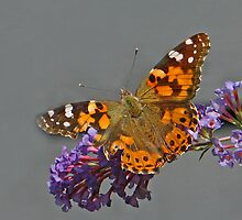 painted lady on buddleia by mimbravastudio