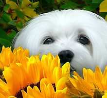 Snowdrop the Maltese - I Spy with my little Eye ! by Morag Bates