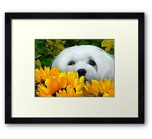 Snowdrop the Maltese - I Spy with my little Eye ! Framed Print