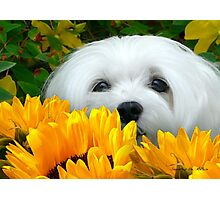 Snowdrop the Maltese - I Spy with my little Eye ! Photographic Print